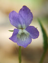 Purple wild flower close up of a dog violet viola riviniana Royalty Free Stock Photography