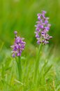 Purple wild orchid meadow Royalty Free Stock Photos