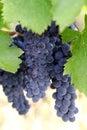 Purple wine grapes Royalty Free Stock Photos