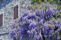 Purple wisteria next to a wall of an old house Royalty Free Stock Photos