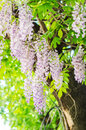 Purple wisteria plant climbing on a tree Royalty Free Stock Photo