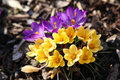 Purple and yellow crocus Royalty Free Stock Photo