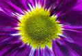 Purple and Yellow Daisy in the Center Royalty Free Stock Photo