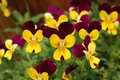 Purple-yellow pansies Royalty Free Stock Photos