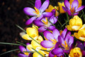 Purple and yellow spring crocus flowers Royalty Free Stock Photo