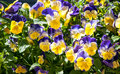 purple and yellow spring flowers in the sun Royalty Free Stock Photo