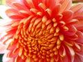 Purpul chrysanthemum flower in the sun rise