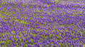 Purpurowy muscari armeniacum pole Obrazy Stock