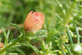 Purslane flower bud in garden moss rose Royalty Free Stock Photo