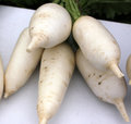 Pusa vidhu radish raphanus sativus medium sizd white conical suddenly tapered at lower end pure white skin and flesh Stock Image