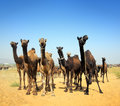 Pushkar camel fair camels festival pushkar Stock Photography