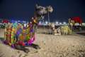 Pushkar camel fair camels in traditional dress at the in rajasthan india Stock Images