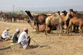 Pushkar Camel Fair - sellers of camels during festival Royalty Free Stock Photography