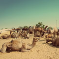Pushkar Camel Fair - vintage retro style Stock Photos