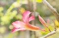 Pustyni pink impala różana leluja w ogródzie Zdjęcie Stock