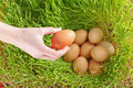 Putting chicken eggs nest green wheat Stock Photography