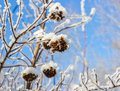 Puzyreplodnik kalinolistny physocarpus seeds puzyreplodnika kalinolistnogo opulifolius clear winter day Royalty Free Stock Images