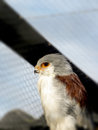 Pygmy falcon female a close up view of a in an aviary Stock Photography