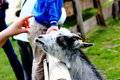 Pygmy goat Stock Photography