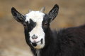 Pygmy goat Royalty Free Stock Photos