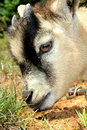 Pygmy Goat Sniffing Stock Photo