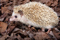 Pygmy hedgehog Royalty Free Stock Photo
