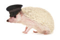Pygmy hedgehog wearing chauffeur hat Royalty Free Stock Photo