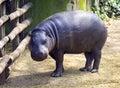 Pygmy hippo liberian hippopotamus nostrils ear artiodactyl mammal Royalty Free Stock Photo