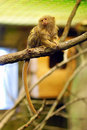Pygmy marmoset Royalty Free Stock Photo