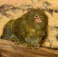 Pygmy marmoset adult sitting on the branch Stock Photos