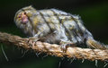 Pygmy marmoset Royalty Free Stock Photo