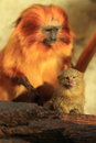 Pygmy marmoset and golden lion tamarin the standing ahead of Stock Image
