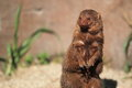 Pygmy mongoose Royalty Free Stock Photos
