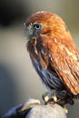 Pygmy owl Stock Photos