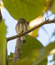 Pygmy owl on branch the cuban glaucidium siju is a tiny owlet endemic to the island of cuba Stock Photos