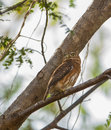 Pygmy owl on branch the cuban glaucidium siju is a tiny owlet endemic to the island of cuba Stock Photography