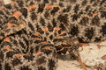 Pygmy Rattlesnake Royalty Free Stock Photo