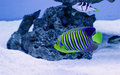 Pygoplites diacanthus royal angelfish in a tank Stock Photography
