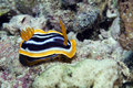 Pyjama chromodorid (chromodoris quadricolor). Stock Images