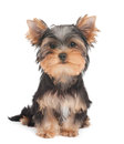 Pyppy van yorkshire terrier Royalty-vrije Stock Fotografie