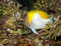 Pyramid butterflyfish the hemitaurichthys polylepis is a species of in the genus hemitaurichthys the Royalty Free Stock Image
