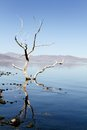 Pyramid lake tree ghostly dead in the shallow water of located on the paiute indian reservation in northern nevada usa Stock Images
