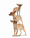 Pyramid of three funny dogs on a light background collage Royalty Free Stock Photos