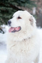 Pyrenean mastiff on in winter photo the street day Royalty Free Stock Photo