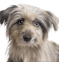 Pyrenean Shepherd (18 weeks) Royalty Free Stock Images