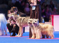 Pyrenean shepherds at dog show july th paris france dogs and czechoslovakian wolfdogs couples in the ring the world Stock Photo