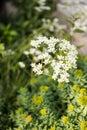Pyrenees  saxifrage, Saxifraga longifolia Royalty Free Stock Photo