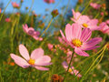 Pyrethrum roseus (soft focus) Royalty Free Stock Photo