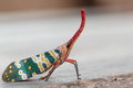 Pyrops candelaria or lantern Fly Royalty Free Stock Photo