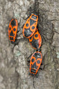 Pyrrhocoris apterus /  firebugs Royalty Free Stock Photography